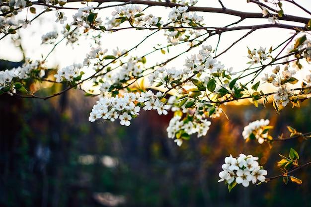 Цветущие яблоневые ветви на закате в естественной среде естественного крупным планом.