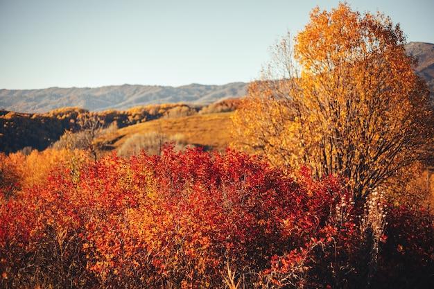 秋の風景東カザフスタン黄色の木林木材高山アルタイ