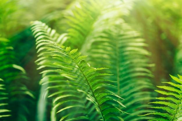 Красивые папоротники оставляют зеленую листву натуральным цветочным папоротником на солнце