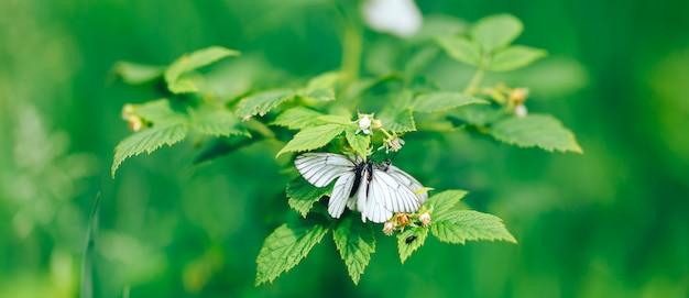 花、自然の背景に白い蝶。キャベツ蝶