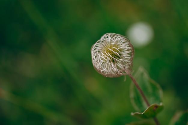開花後のクレマチス種子の外観。