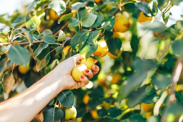 Женская рука показывает ветку с зелеными грушами во время сбора урожая в саду