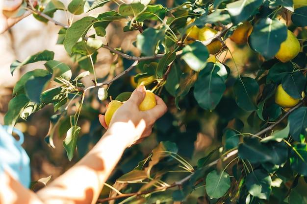 庭の収穫時間に緑の梨と枝を示す女性の手