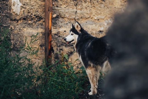 古い家に立っている黒の純血種のハスキー犬の雄大な肖像画