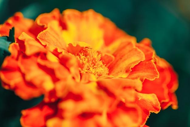 ダリアの赤い花マクロ選択フォーカスのクローズアップ
