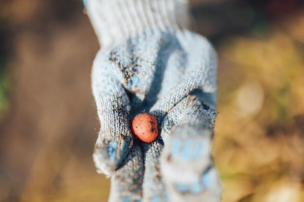 収穫期 。土壌から新鮮な有機ジャガイモを収穫する農家