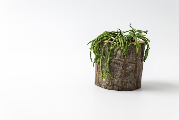 白い背景と分離サボテンの植物