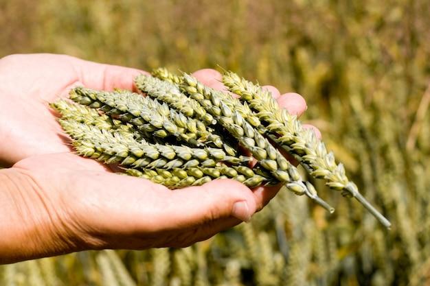 Руки держат колосья пшеницы