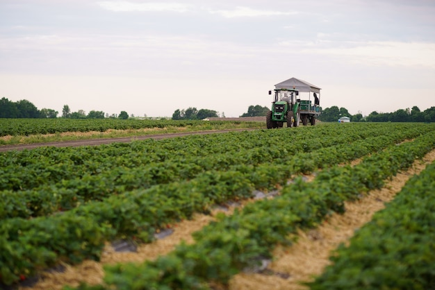 畑でイチゴを集める