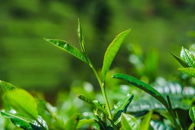 クローズアップの新鮮な緑茶はスリランカの農園を残します。
