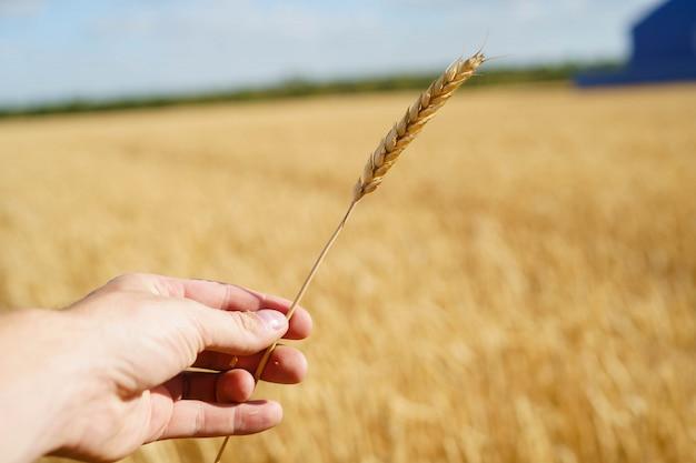 フィールドに小麦のわらを持っている手タッチ