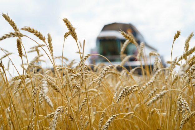 夏に小麦を収穫
