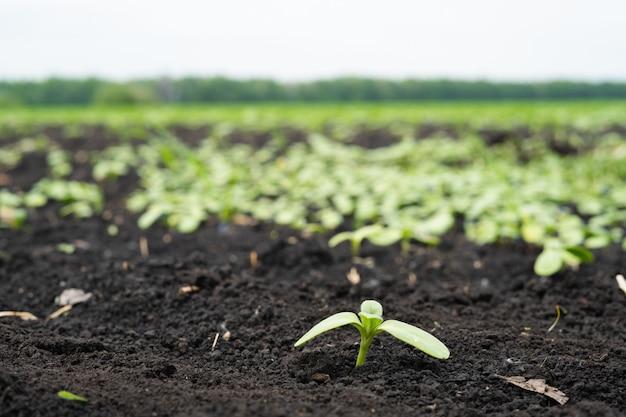 Фермерское поле с небольшими ростками подсолнечника