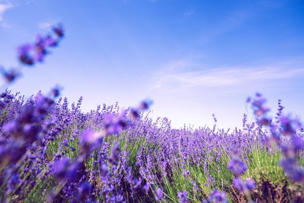 夏のラベンダー畑