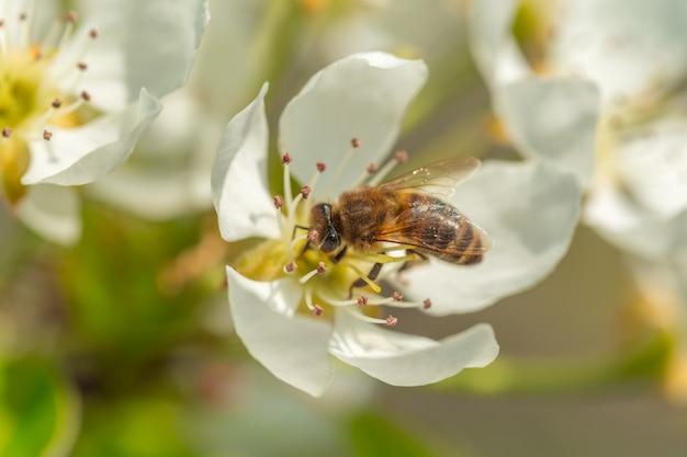 白い花の花に蜂。花粉を集めるミツバチ