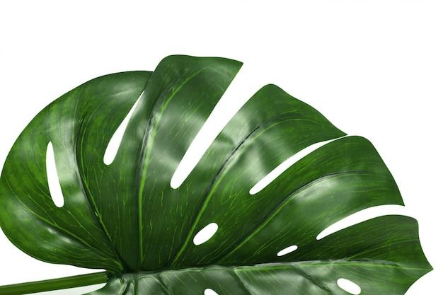 白い背景で隔離モンステラ植物の葉