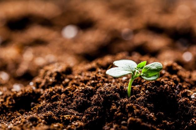 栽培農業農場分野で成長している若い緑のトウモロコシ苗もやし