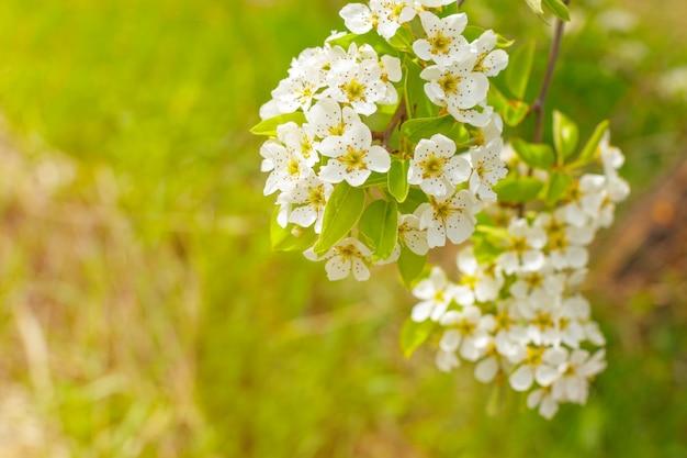 ぼやけた自然の上の桜