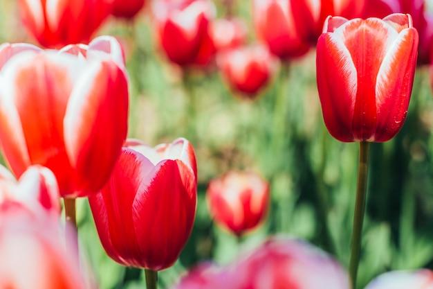 美しい花束と赤いチューリップ。