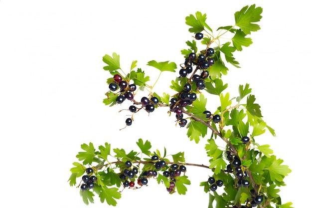 緑の葉と黒スグリの実。新鮮な果物、白で隔離されます。