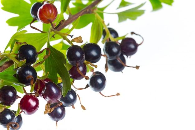緑の葉とブラックカラントの果実。