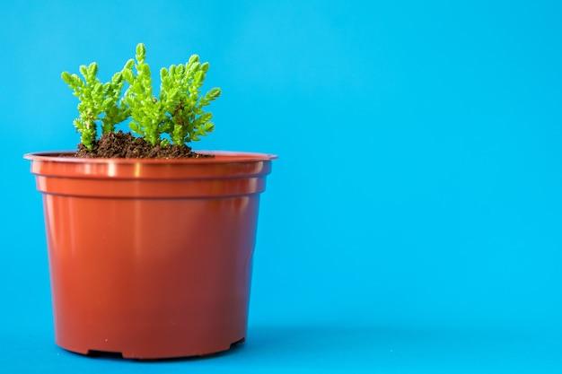 Сочные комнатные растения маленькие ростки на синем