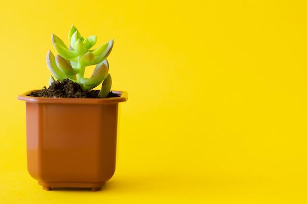 Комнатное растение в горшке на желтом ярком фоне
