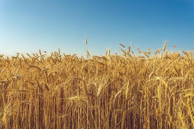 黄金の麦畑と晴れた日
