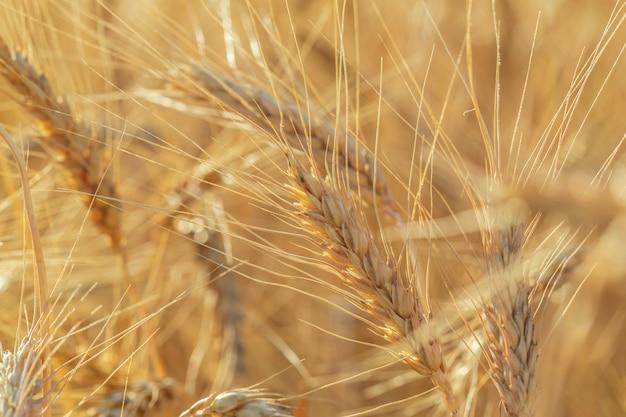 Золотое пшеничное поле и солнечный день