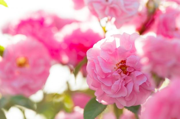 フィールドの背景にピンクのバラの茂みのクローズアップ