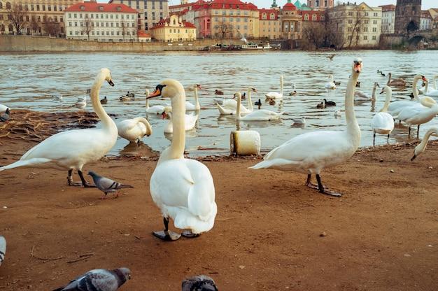 プラハの川の風景チェコの首都、カレル橋、チェコ共和国、観光の横にある川の白鳥の白鳥