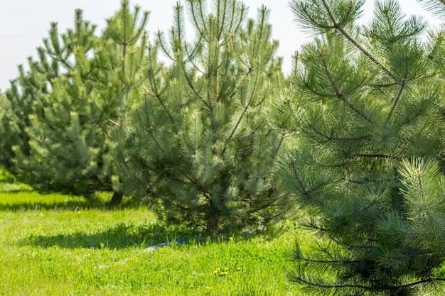 Форрест зеленых сосен в качестве фона
