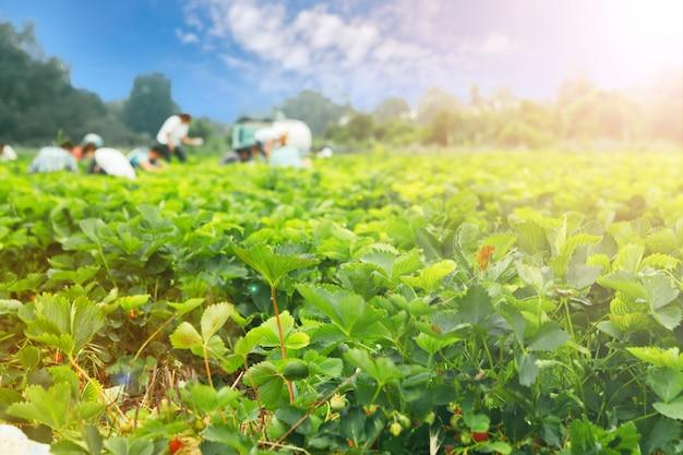 Клубничные кусты на клубничном поле в ферме