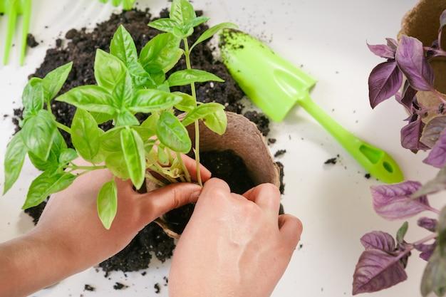 Садоводство, посадка в домашних условиях. женщина переселения рассады комнатное растение