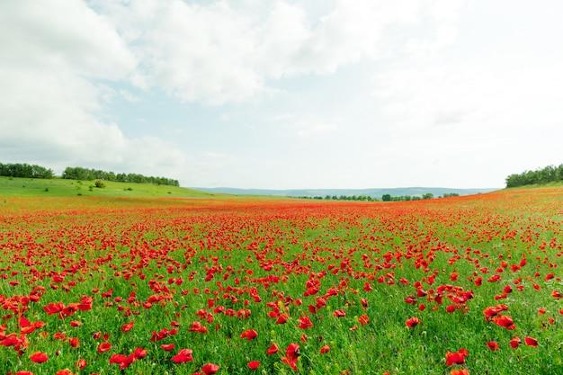 フィールドの赤いケシの花