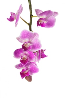 Орхидея, изолированная на белом