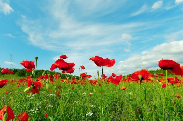 フィールドの背景に赤いケシの花