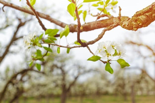 ぼやけた自然背景上の桜