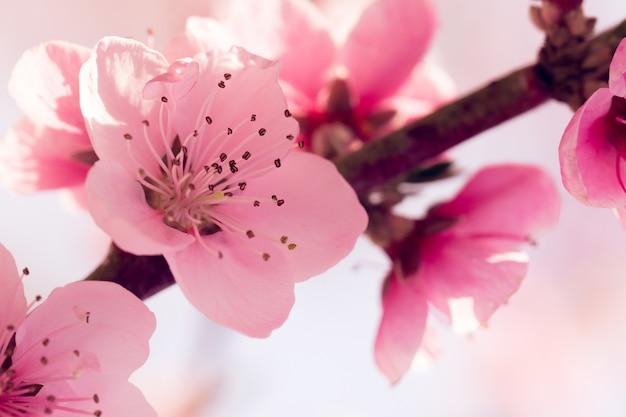 Весеннее дерево с розовыми цветами