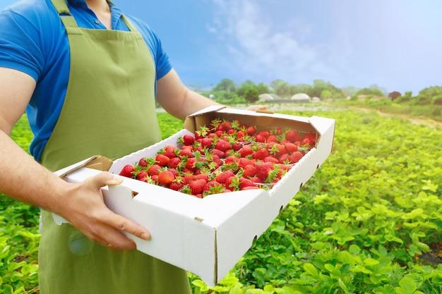 ファイルに新鮮な熟したイチゴの箱を持って認識できない男