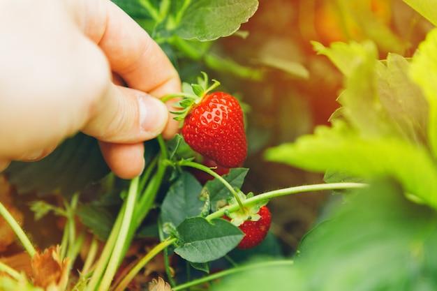 イチゴを保持している男性の手がフィールドでイチゴの植物にハングアップします。