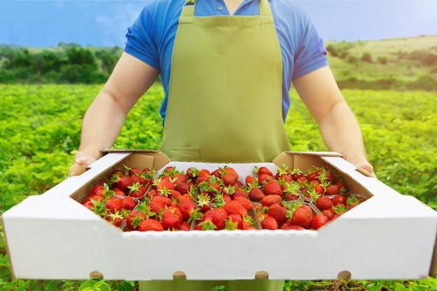 Неузнаваемый мужчина держит коробку со свежей спелой клубники в поле