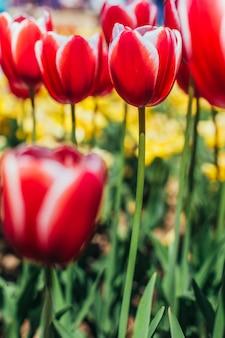 美しい花束の表面と赤いチューリップ、