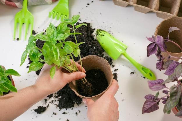 Садоводство, посадка на дому. женщина пересаживает рассаду комнатное растение