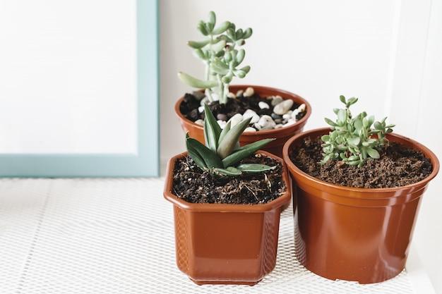 屋内で小さな茶色のプラスチック鍋に多肉植物のグループ