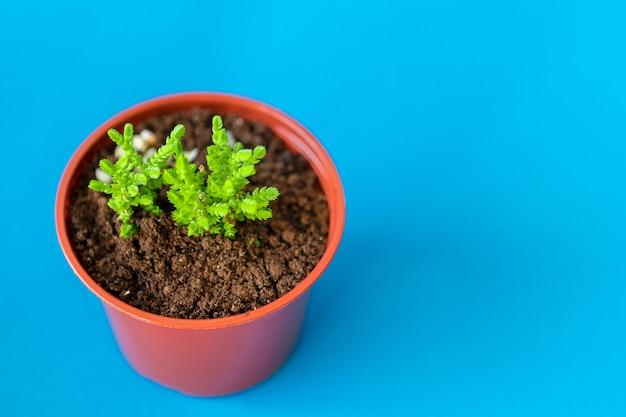 Сочные комнатные растения маленькие ростки на синем фоне