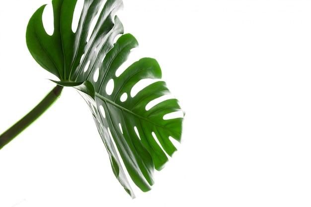 Большой зеленый лист растения монстера на белом фоне