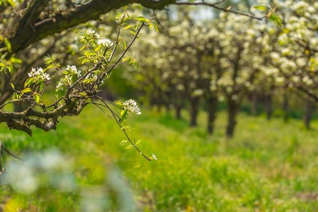 Яблоневый сад с цветущими деревьями