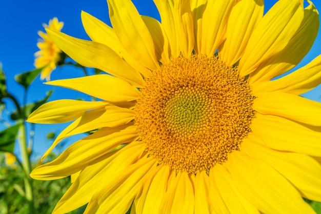 Желтое поле подсолнухов