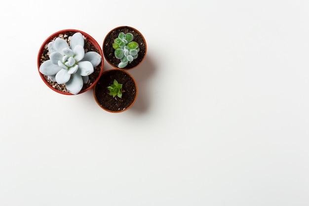 白い背景の上の鍋で多肉植物